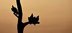 India, Assam, Kaziranga National Park, vultures (Gyps sp.)