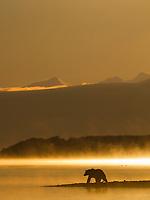 Morning fog rises over Naknek lake at sunrise as a brown bear fishes for salmon. Katmai National Park, southwest, Alaska.
