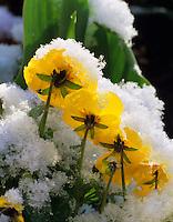 Yellow pansies in snow. Corvallis, Oregon