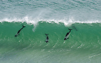 Commerson's Dolphin (Cephalorhynchus commersonii), pod, playing in waves, Saunders Island, Falkland Islands, South Atlantic Ocean, South America