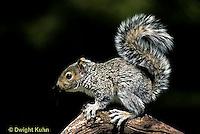 MA23-003z  Gray Squirrel - looking around for danger - Sciurus carolinensis