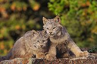 Lynx or Canadian Lynx (Lynx canadensis) kittens.