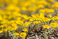 Eriophyllum wallacei var. wallacei - Wallace's Woolly Daisy, yellow flowering wildflower; California native plant Anza Borrego State Park; superbloom wildflower display 2017