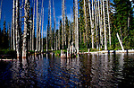 Fir snags dominate the shoreling of Horseshoe Lake, near Mt. Adams and Mt. St. Helens in Washington State.  Trees were killed by beaver activity raising the lake.