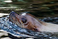 The Steller sea lion, Eumetopias jubatus, is a member of the Otariidae family, or eared seal. British Columbia, Canada.