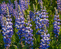 Broadleaf Lupine (Lupinus latifolius)--wildflower, Mount Rainier National Park, WA.  Summer.