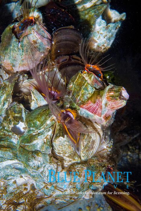 Giant Acorn Barnacle ( Balanus nubilus) (c) Pacific Ocean