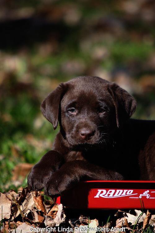 Chocolate Labrador retriever (AKC) sitting in a miniature radio flyer wagon.  Birchwood, WI.
