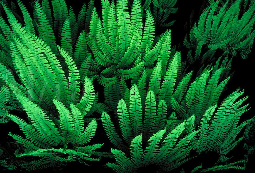 Five finger fern leaves..