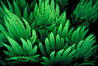 Five finger fern leaves..