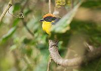 Rufous-naped brush finch, Atlapetes latinuchus spodionotus. Yanacocha Reserve, Ecuador