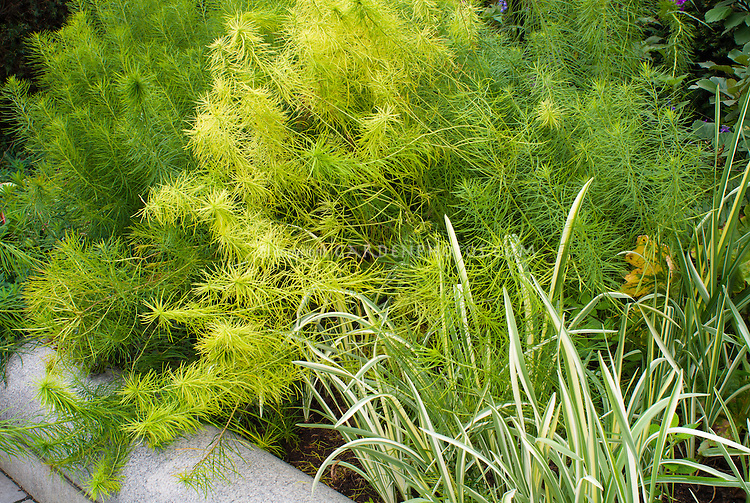 Amsonia hubrichtii with iris ensata 'Variegata' 2 2 for 1 plants together in late summer