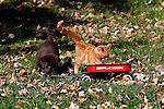 Chocolate Labrador retriever puppy (AKC) and a kitten playing together in the fall leaves.  Birchwood, WI.