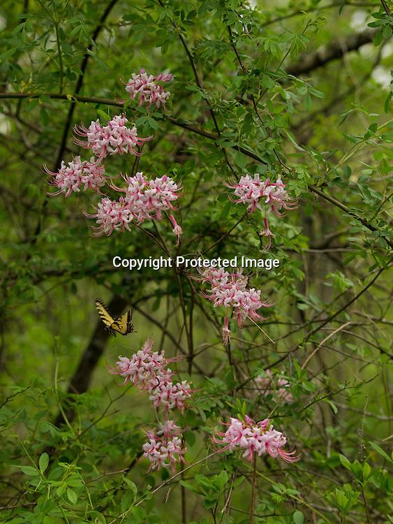 A tiger swallowtail butterfly seeks the nectar of wild azaleas along the Choptank River near Greensboro