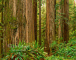 Sword Fern, Redwoods, Jedediah Smith National and State Park, California