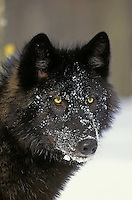 Gray Wolf (Canis lupus). Black color phase..Winter. Upper Great Lakes region. USA..
