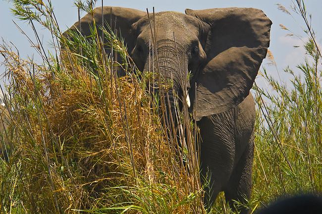 Young elephant, Liwonde National Park, Malawi
