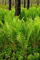 Spring ferns in a longleaf pine savanna