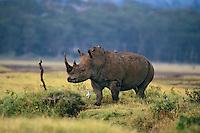 White Rhinoceros at Lake Nakuru National Park, Kenya.
