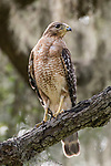 Damon, Texas; an adult red-shouldered hawk standing on a tree branch backlit by late afternoon dappled light