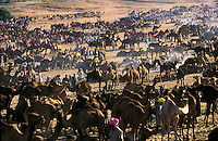 Camels at Pushkar Fair Pushkar Rajasthan India