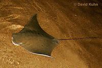 0130-08pp  Cownose ray, Rhinoptera bonasus © David Kuhn/Dwight Kuhn Photography
