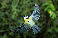 Blaumeise, im Flug, Flugbild, fliegend, Blau-Meise, Meise, Cyanistes caeruleus, Parus caeruleus, blue tit