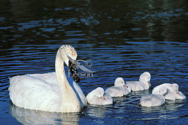 Trumpeter Swan (Cyngus buccinator) with young cygnets, Western U.S., June.