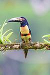 Adult collared aracari (Pteroglossus torquatus) in rain forest canopy. Boca Tapada, north east Costa Rica.