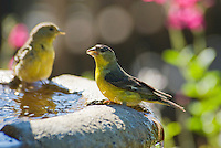 Male, right, and female, left, lesser goldfinch, Carduelis psaltria. On a backyard fountain in the Santa Cruz Mountains, California