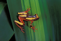 CLOWN TREE FROG..Northern & Central South America..Captive. Hyla leucophyllata.