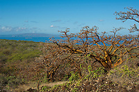 Endemic wiliwili trees on Maui, with Molokini and Kaho'olawe in the distance.