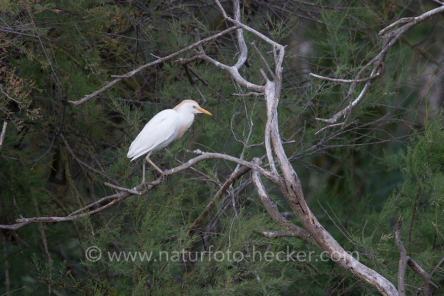 Kuhreiher, Kuh-Reiher, Reiher, Ardeola ibis, Bubulcus ibis, cattle egret, buff-backed heron