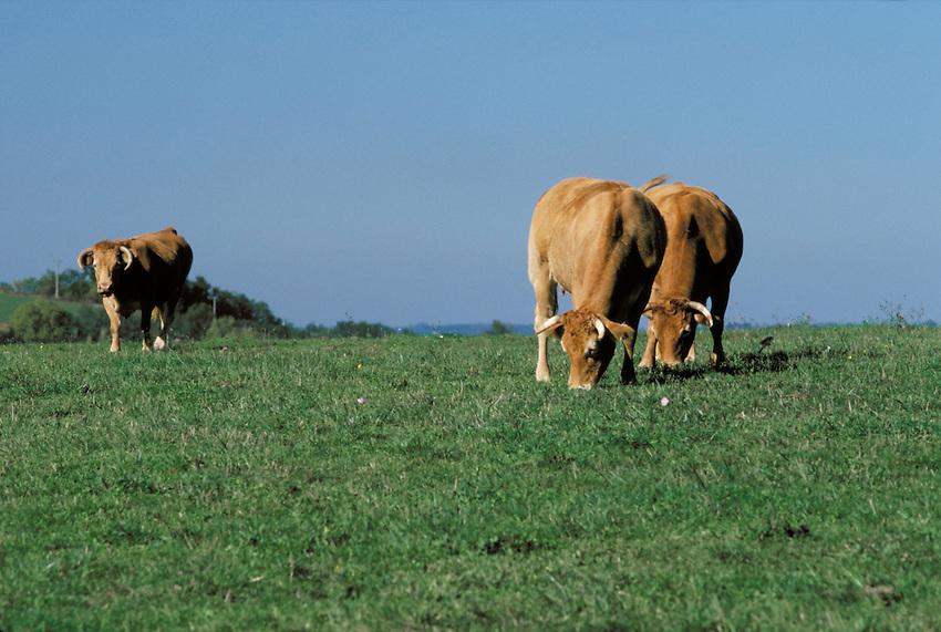 Elevage de bovins de race Limousine.- race à viande.- élevage extensif.Cublac.Communauté d'agglomération de Brive.19-Corrèze.France