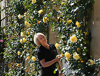 BNPS.co.uk (01202 558833)<br /> Pic: ZacharyCulpin/BNPS<br /> <br /> Blenheim in bloom...<br /> <br /> Head Gardener, Hilary Wood with the Dreaming Spires rose, which was planted at the palace in the 1980s, is one of more than 20 different varieties grown there<br /> <br /> One of Britain's most historic stately homes is expecting a bumper year for its stunning roses with some already in full bloom.<br /> <br /> Blenheim Palace, the birthplace of Sir Winston Churchill, is currently closed to visitors due to the coronavirus pandemic so this might be the only chance to see some of their stunning floral displays.<br /> <br /> With a reduced team of gardeners tending to the formal gardens and 2,000 acres of Capability Brown-landscaped parkland, there is little time for staff to stop and smell the roses.<br /> <br /> But if they could there is a spectacular climbing rose called Dreaming Spires, which grows up the walls of the Palace's orangery, that is already in full bloom and its 'wonderwall' of wisteria is also looking incredible.