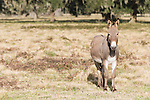 Brazoria County, Damon, Texas; a donkey stands in the pasture to protect the calves from Coyote