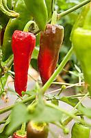 Red orange ripe specialty peppers ' Espelette' on bush in field, Viridian Farms, Oregon