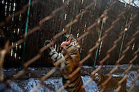 Tigers jump to grab pieces of chicken thrown by a zookeeper during feeding time at the Siberian Tiger Park in Haerbin, Heilongjiang, China.  The Siberian Tiger Park is described as a preserve to protect Siberian tigers from extinction through captive breeding.  Visitors to the park can purchase live chickens and other meat to throw to the tigers.  The Siberian tiger is also known as the Manchurian tiger.