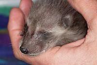 Waschbär, Jungtier wird von Hand aufgezogen, verwaistes Jungtier, Aufzucht eines Wildtieres, Tierkind, Tierbaby, Tierbabies, Waschbaer, Wasch-Bär, Procyon lotor, common raccoon