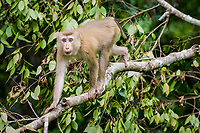 primate, long tailed macaques or crab-eating macaques or Cynomolgus monkey, Thailand, family: Cercopithecidae, Macaca fascicularis, range southeast Asia
