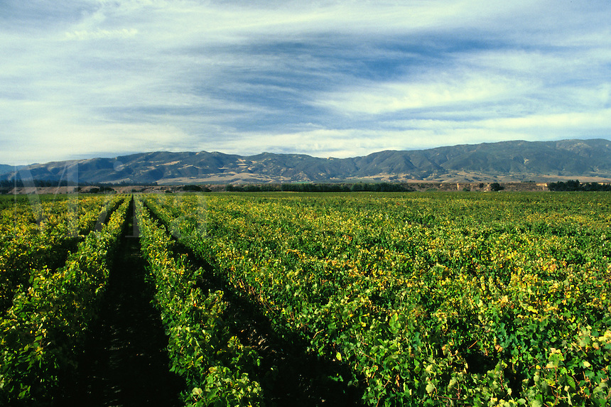 Rows of GRAPEVINES in VENTANA VINEYARDS - MONTEREY COUNTY
