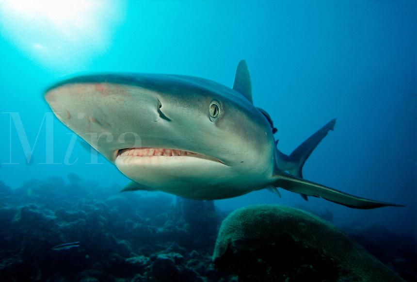 GRAY REEF SHARK Carcharhinus amblyrhynchos  FIJI..predator dangerous menacing deadly hazardous cartilaginous serious mana island castaway gray danger agressive sharks underwater