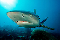 GRAY REEF SHARK Carcharhinus amblyrhynchos  FIJI..predator dangerous menacing deadly hazardous cartilaginous serious mana island castaway gray danger agressive sharks underwater