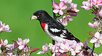 Male rose-breasted grosbeak perched in a flowering crab apple tree.