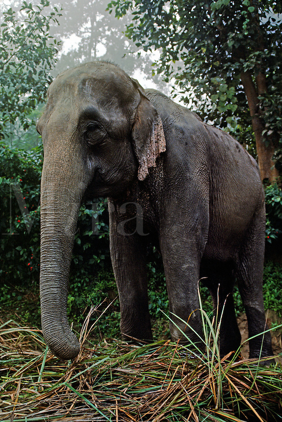 A working ELEPHANT at TIGERTOPS LODGE rests & eats - CHITWAN NATIONAL PARK, TERAI, NEPAL