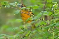 Female Orchard Oriole (Icterus spurius) feeding among what looks like a wild gooseberry type plant, Great Lakes area, Spring.