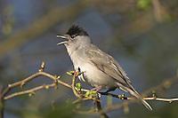 Mönchsgrasmücke, singendes Männchen, Mönchs-Grasmücke, Mönchs - Grasmücke, Sylvia atricapilla, Blackcap, Fauvette à tête noire
