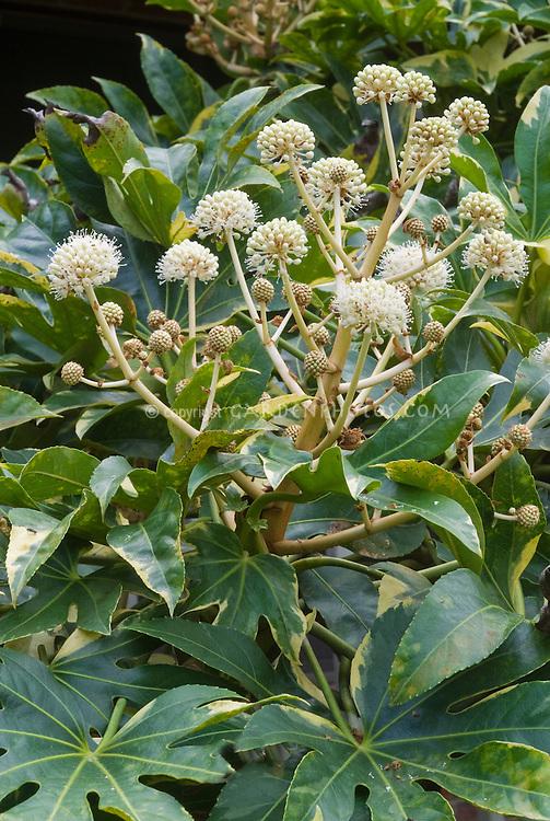 Fatsia japonica 'Variegata' in autumn flower