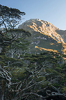 Beech trees with Darran Mountains in background at sunset, Fiordland National Park, UNESCO World Heritage Area, Southland, New Zealand, NZ