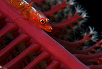 Large Whip Goby, Bryaninops amplus, Underwater macro marine life images;  Photographed in Tulamben; Liberty Resort; Indonesia.Underwater Macro Photographer on FB 2nd Annual event